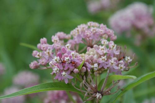 Native Milkweed flowers